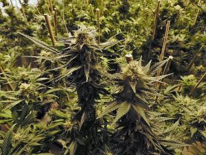 Marijuana may be Oregon's top crop after the latest stats were released